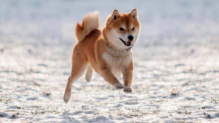 shiba inu corriendo en la nieve