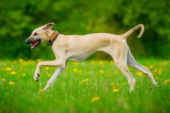 sloughi corriendo sobre pradera florida