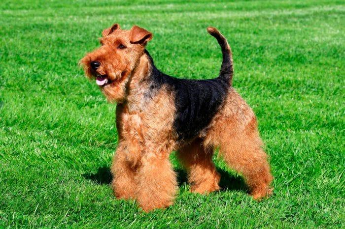 welsh terrier sobre césped vista lateral