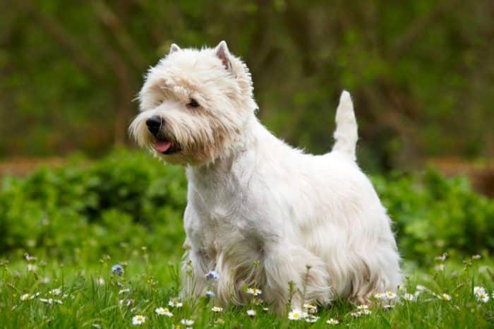 west highland white terrier sobre cesped con flores de múltiples variedades