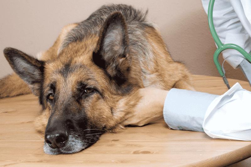 consecuencias de las garrapatas en un perro