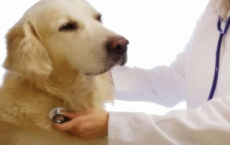 como se puede prevenir la fiebre en un perro