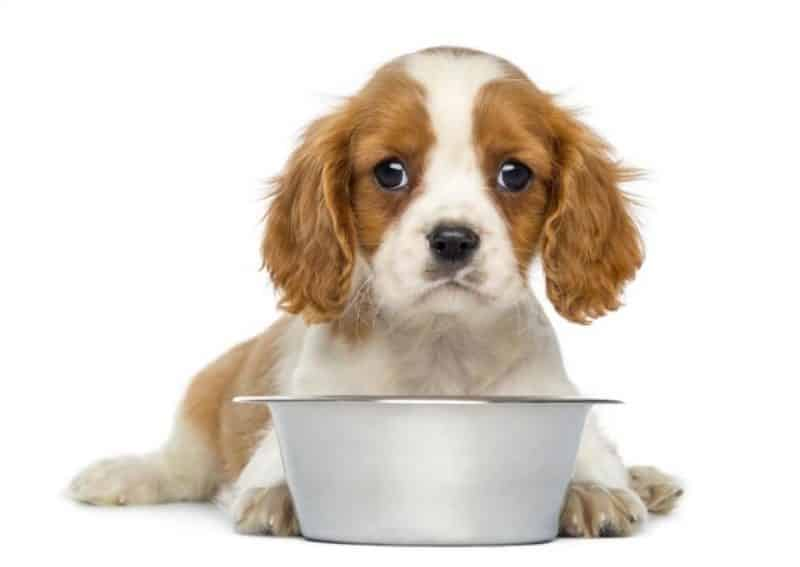 síntomas de fiebre canina
