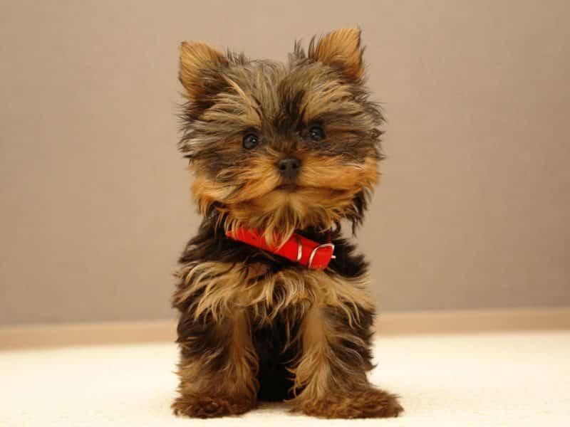 Big Boss uno de los perros más pequeños del mundo