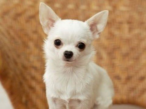 Danka Kordak uno de los perros más pequeños del mundo