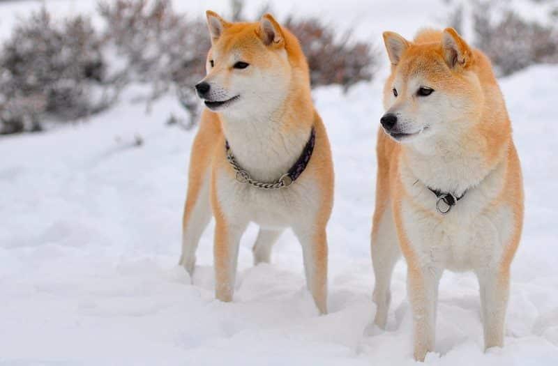 2 shiba inu de paseo en la nieve