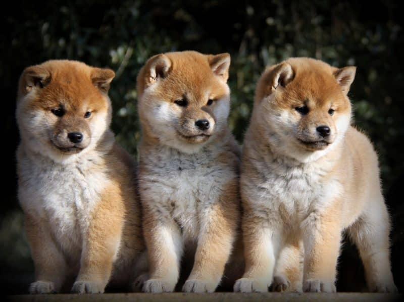 3 cachorros shiba inu