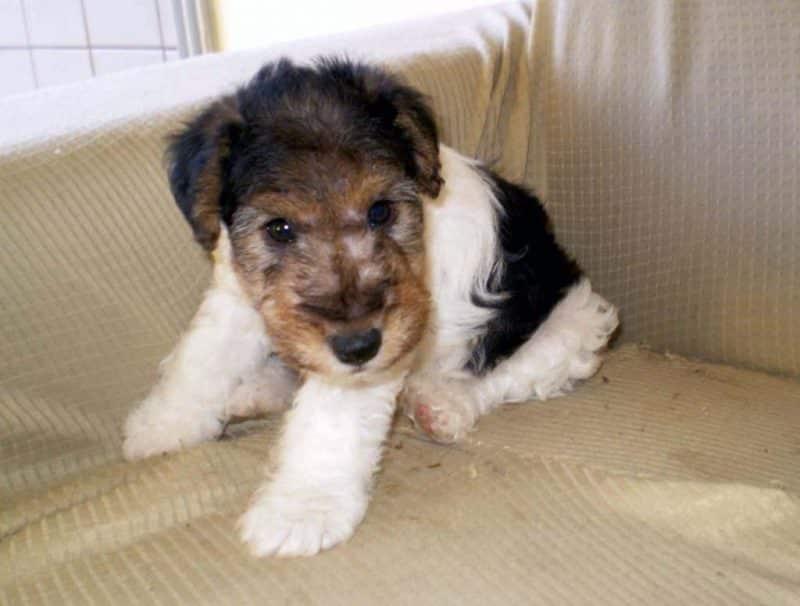 cachorro fox terrier de pelo duro sentado en un sofá