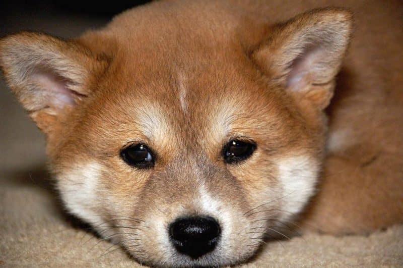 cachorro shiba inu descansando sobre una alfombra