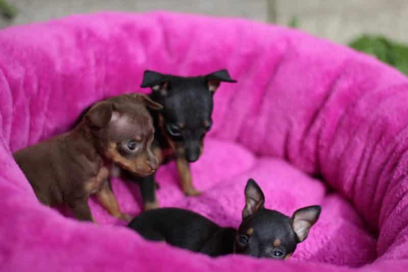 cachorros del ratón de praga