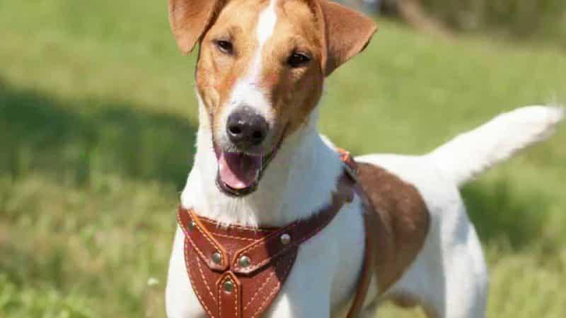 características generales del fox terrier