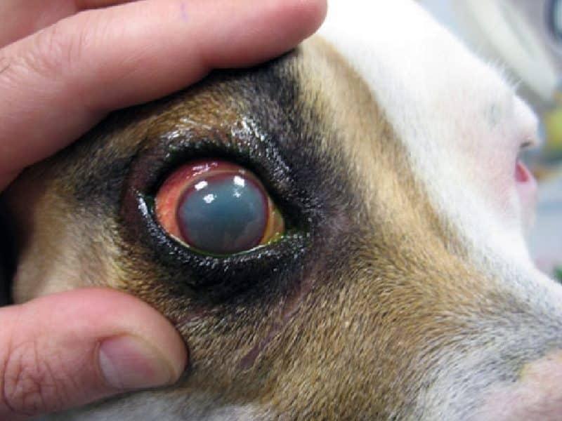 cataratas enfermedades mas comunes del fox terrier