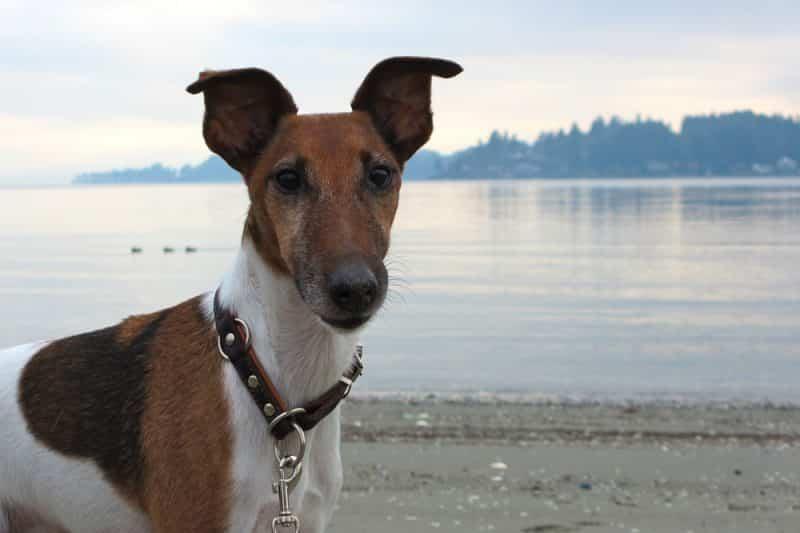foto fox terrier de pelo liso frente al mar