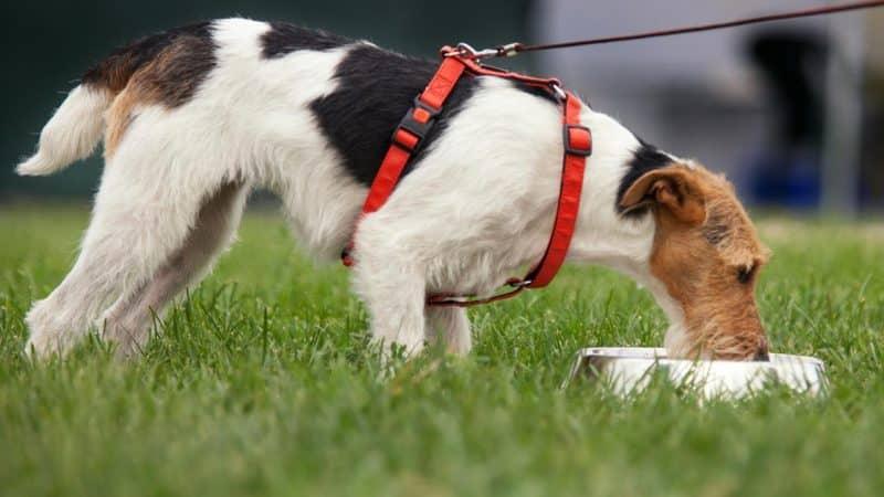 fox terrier comiendo