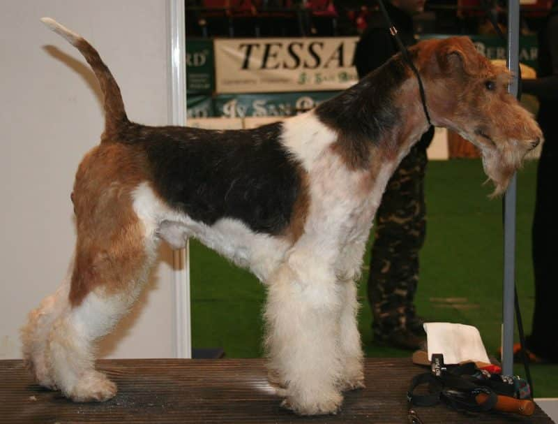 fox terrier de pelo duro parado en un podio