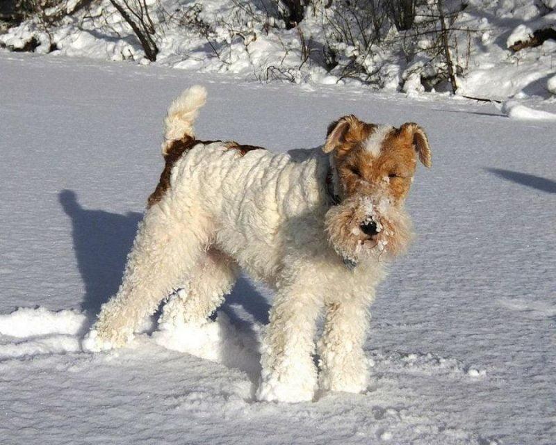 fox terrier de pelo duro parado sobre nieve