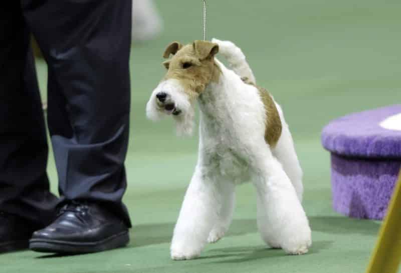 Adiestramiento del fox terrier