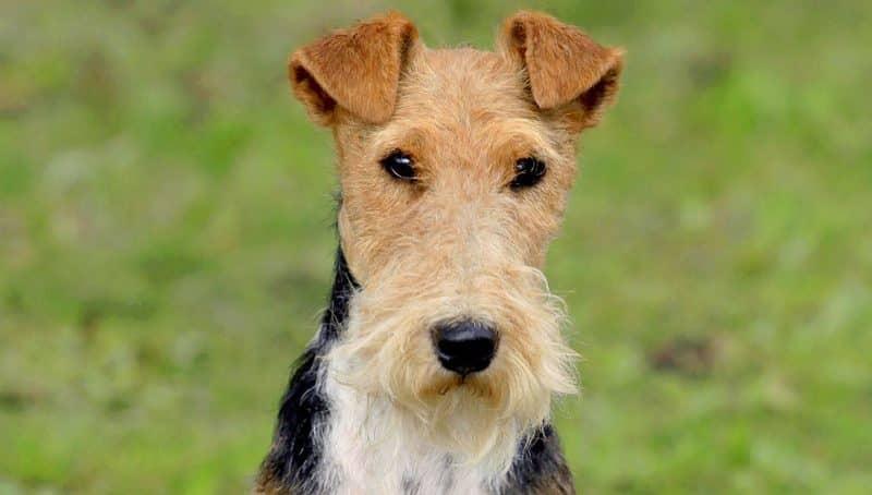 origen de la raza fox terrier