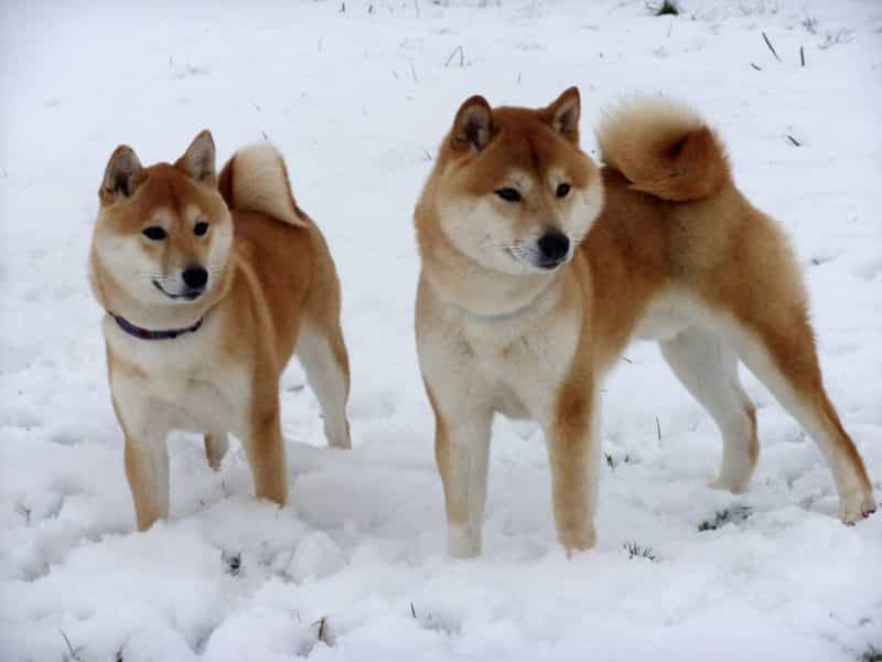 pareja de shiba inu en la nieve