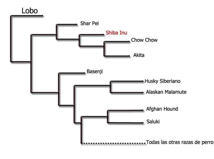 parentesco de la raza shiba inu con el lobo gris