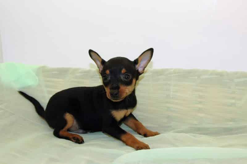 ratón de praga en una cama para perros de mimbre forrada en tela