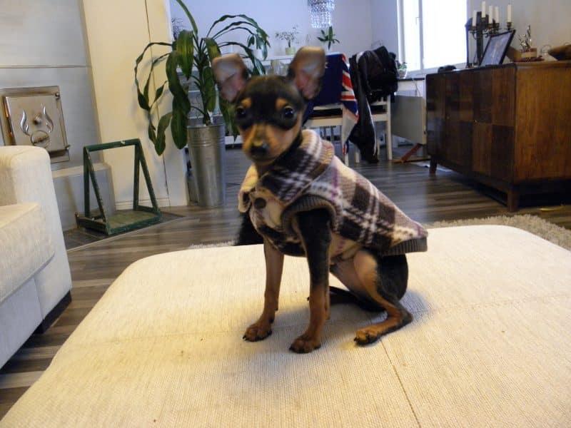 ratón de praga modelando ropa para perros