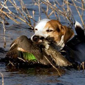 Razas de perros pequeños de caza