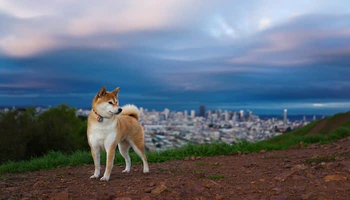 shiba inu observando desde lo alto de una montaña