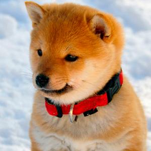 Todo sobre el perro Shiba Inu: Precios, tipos, características, temperamento, cachorros, criaderos, cuidados y mucha más información