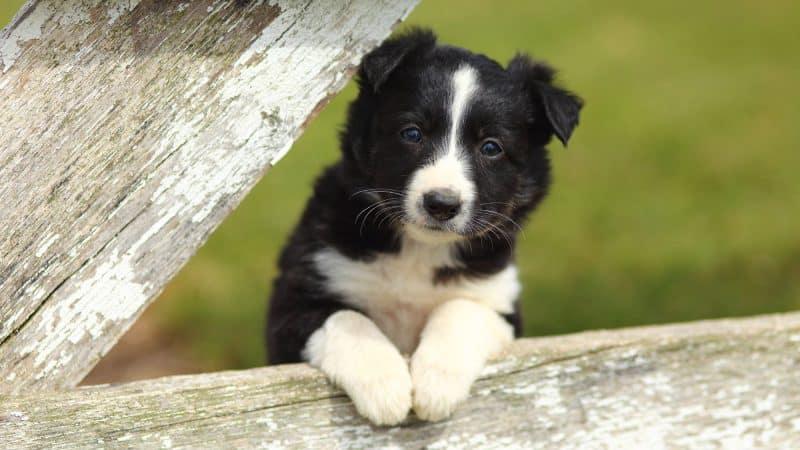 cachorro border collie 2 meses