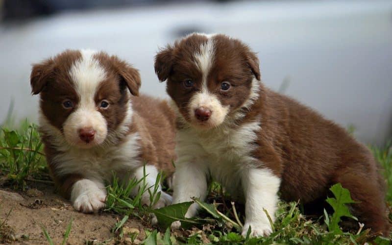 cachorros border collie en el campo