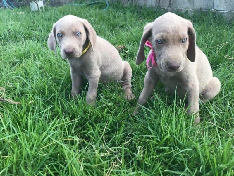 cachorros de weimaraner