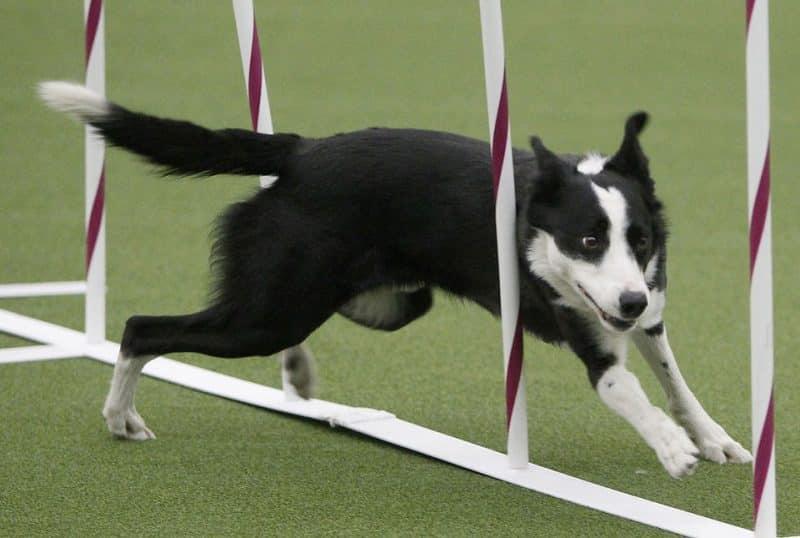 entrenamiento para un border collie