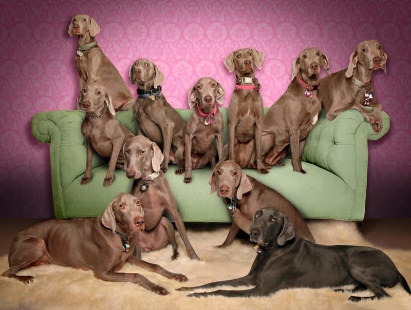 fotos de perros weimaraner