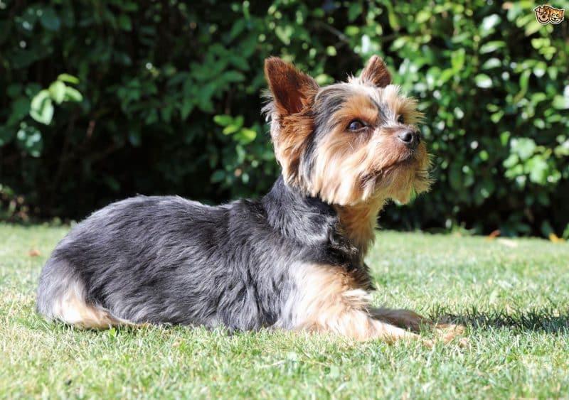 australian silky terrier cachorro acostado