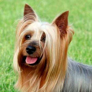 Todo sobre el Australian Silky Terrier: Precio, carácter, imágenes, cachorros, temperamento y mucho más
