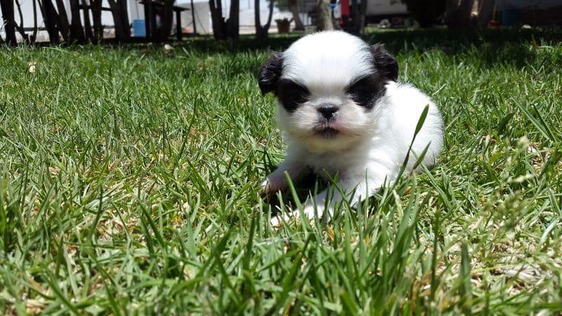 cachorro perro chin sobre cesped
