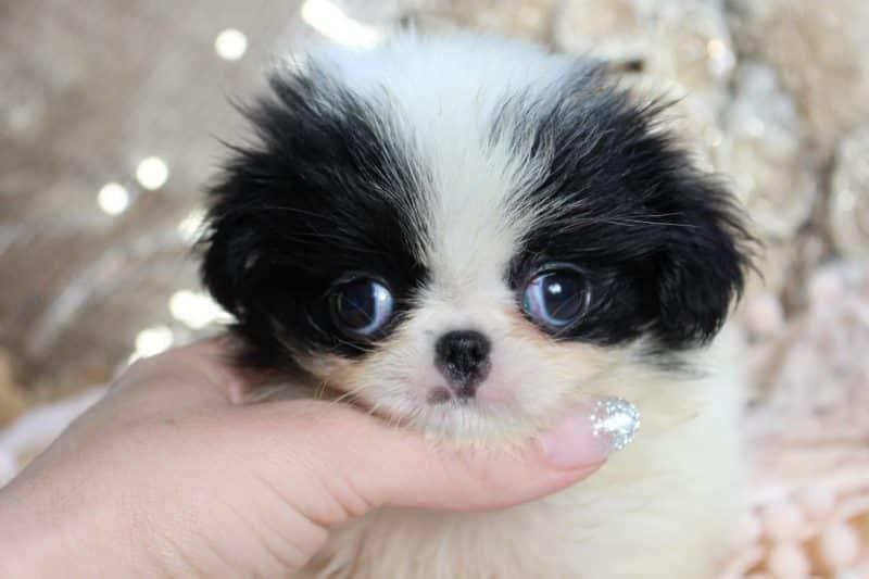 cachorro spaniel japonés