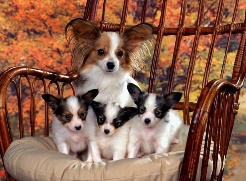 cachorros de un perro papillon junto a su madre