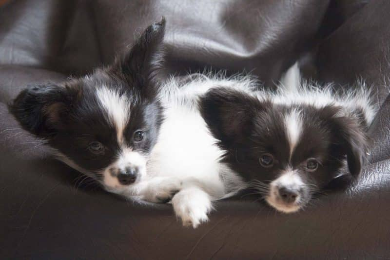 cachorros del perro papillon o continental toy spaniel