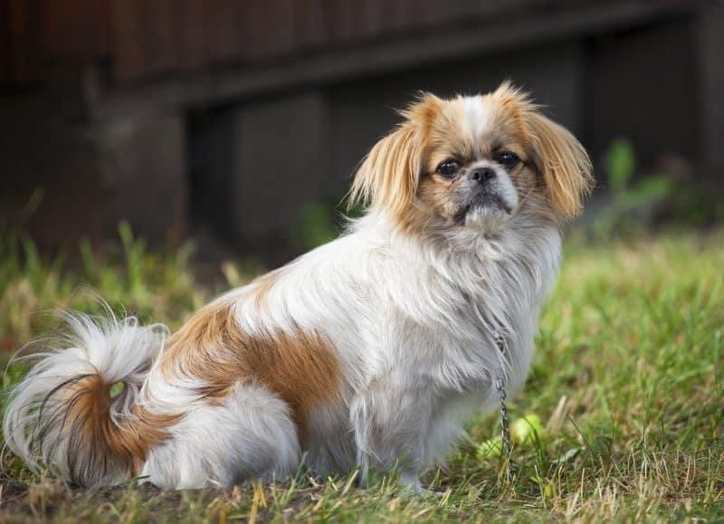 características de la raza de perros pekines