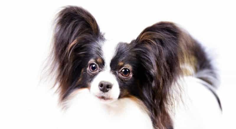 características del perro papillon o continental toy spaniel orejas