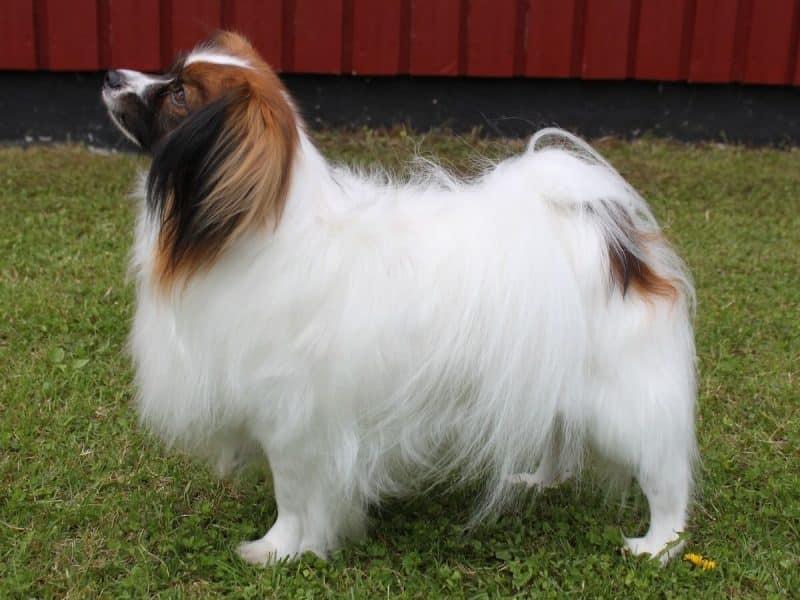 características del perro papillon o continental toy spaniel pelaje