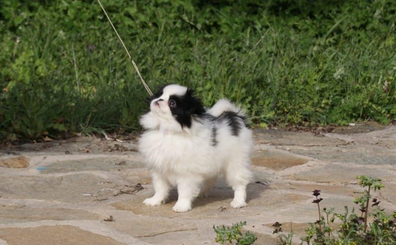 chin japones perro