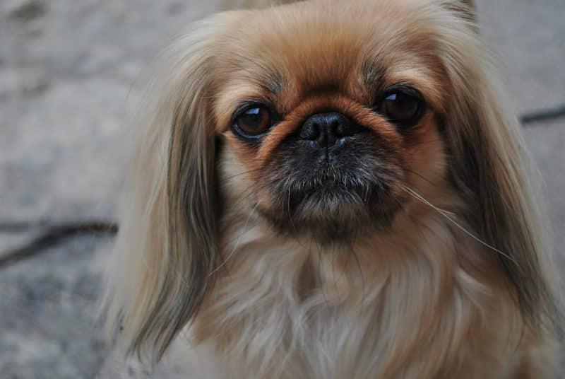 cómo evitar las malas conductas del perro pekines