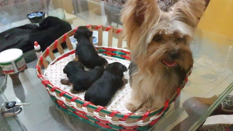 consejos para comprar un australian silky terrier