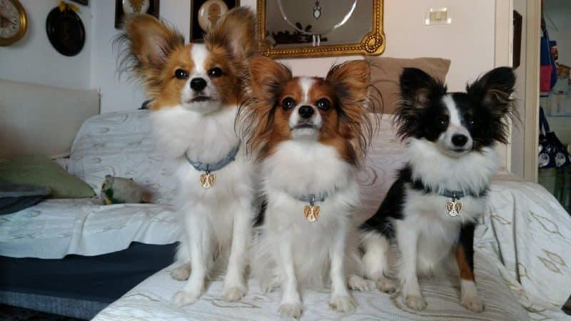 consejos para comprar un perro papillon o continental toy spaniel