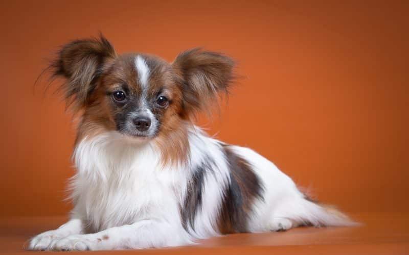 cual es el origen del perro papillon o continental toy spaniel
