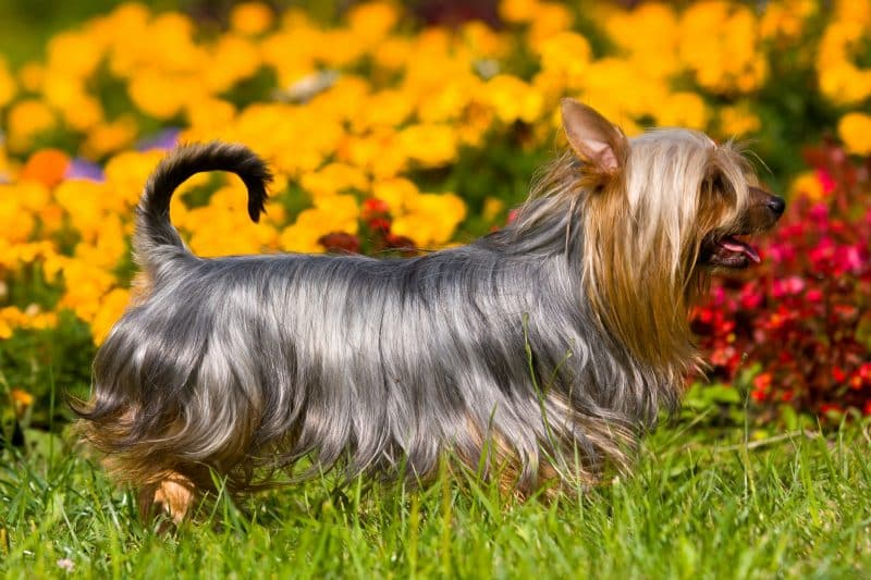 cuanto cuesta un australian silky terrier