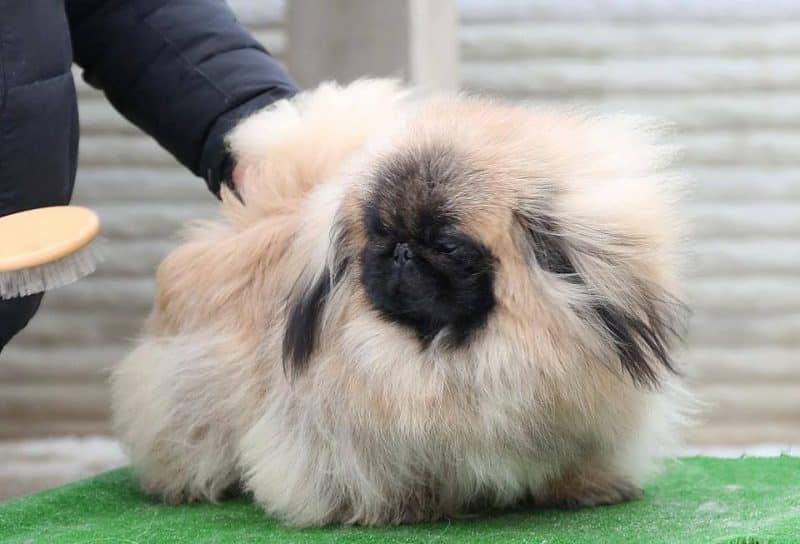 cuidados específicos del pelaje del pekinés